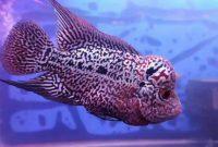 Mengenal Ikan Louhan Kamfa dan Ciri-Cirinya