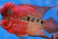 Tips Cara Membuat Ikan Louhan Jadi Merah Secara Alami