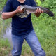 Cara Menangkap Ikan Gabus