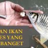 Umpan Ikan Tawes Yang Jitu