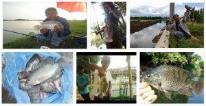 Mancing Ikan Nila Beginilah Rahasia Para Profesional