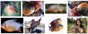 Umpan Ikan Bawal Yang Jitu dan Bisa Diandalkan Pemancing Sejati