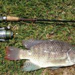 Umpan Ikan Nila Kolam Yang Susah Makan