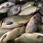 Umpan Jitu Ikan Mas Neter Terus
