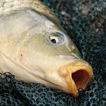 Umpan Juara Mancing Ikan Mas