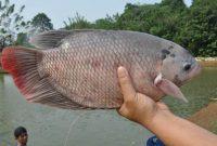 Ragam Umpan Ikan Gurame yang Sangat Ampuh Buat Lomba Mancing !!