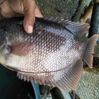 Umpan Ikan Gurame yang Sangat Ampuh