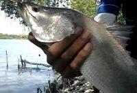 Bulan Musim Ikan Kakap Putih Yang Wajib Anda Ketahui