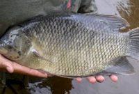 Umpan Ikan Nila Kilo Gebrus