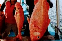 Memancing ikan merah atau ikan fungkai di pulau Bangka