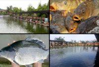 Cara Membuat Umpan Mancing Ikan Mas Galatama